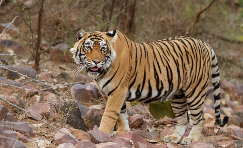 A tiger in Ranthambore National Park, India