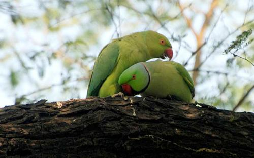 Bharatpur Bird Sanctuary, Parrot, Rajasthan