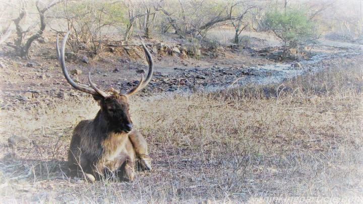 Sambar Deer at Ranthambore National Park